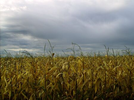 Storm approaching over cornfield.