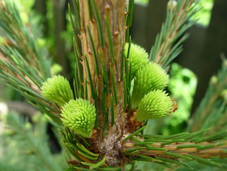 A Norway Spruce (Picea abies)  Tree displaying new growth