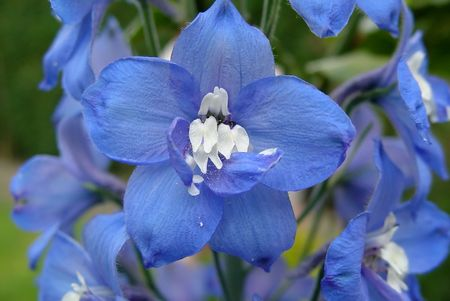 A cluster of blue and white Delphinium flowers
