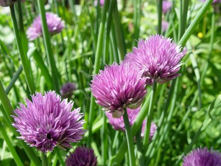 Close up of the flowers of some Chives (Allium schoenoprasum). The stalks are a herb used in seasoning and the plant is the smallest plant of the onion . photo
