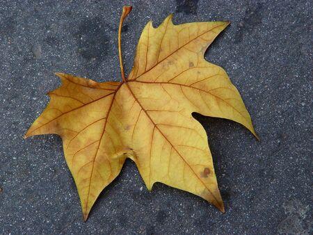 プラタナス: パス上の秋の落ちたシカモア葉