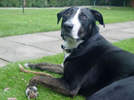 A black and white dog laying on grass with a stick photo