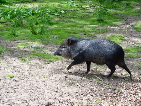 A Collared Peccary (Tayassu tajacu) walking Stock Photo