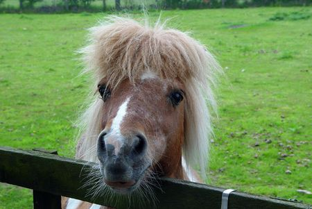 A pony in a field looking over a fence