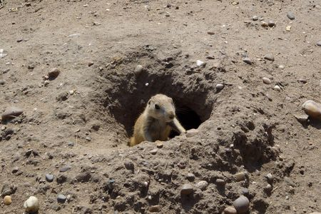 burrow: Young prairie dog emerging from the burrow