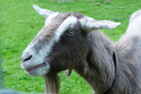 gruff: The head and neck of a domestic goat (Capra)