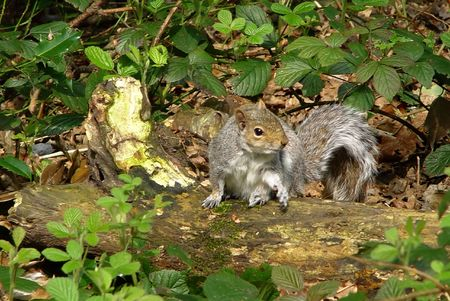 An Eastern Grey Squirrel (Sciurus Carolinensis) sitting on a fallen log Stock Photo
