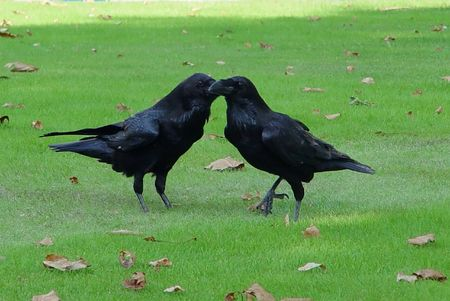 Two Common Ravens (Corvus corax) standing on grass