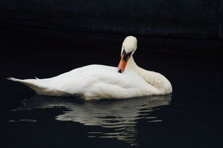 cygnus olor: A Mute Swan (Cygnus Olor) reaching back to preen its wing Stock Photo