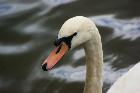 cygnus olor: The head and neck of a Mute Swan (Cygnus olor)