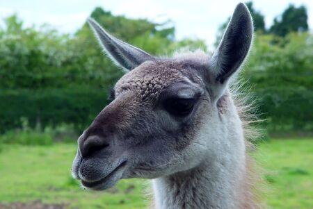 guanicoe: The head of a Guanaco (Lama guanicoe)