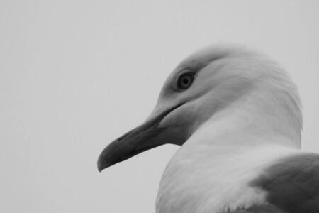 A black and white picture of a gulls head