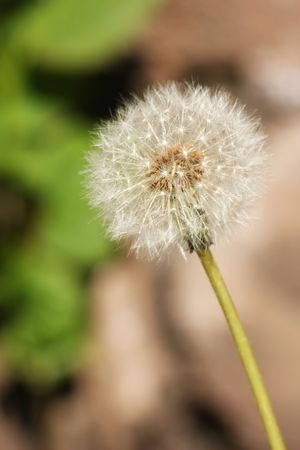 The head of a Dandelion (Taraxacum officinale) after it has gone to seed Stock Photo