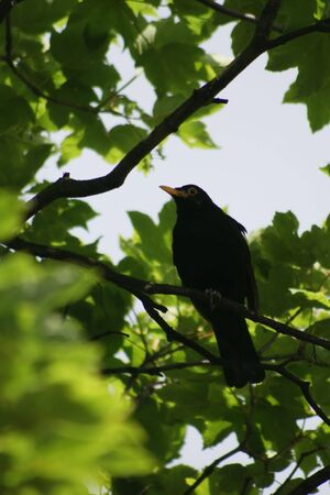 A male Common or Eurasian Blackbird (Turdus merula) perched on a branch of a tree