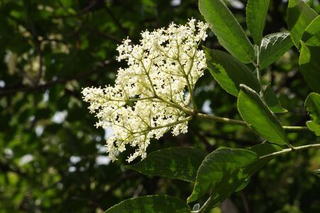 European Black Elderflowers (Sambucus nigra)