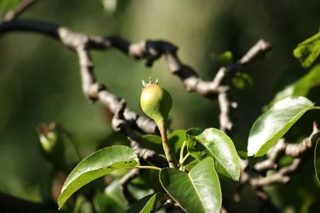 A new pear just started growing