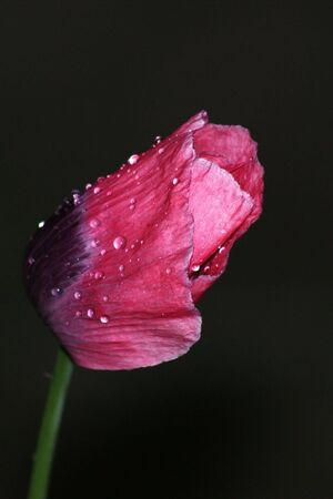 A closed red poppy (Papaver) flower during a rainstorm