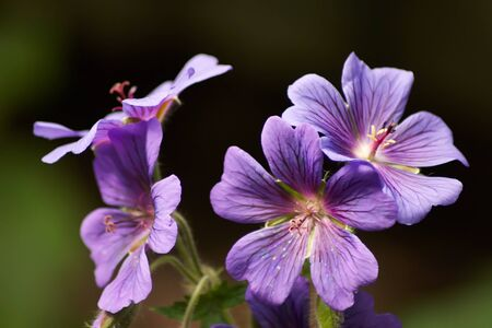 Four Purple Geranium Flowers Stock Photo