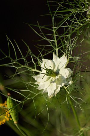 White Nigella Flower and Poppy Head Stock Photo