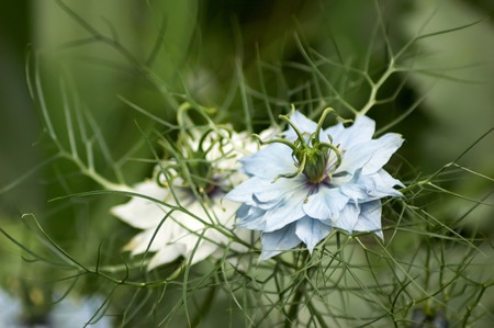 Blue and white Nigella flowers with focus on the blue Stock Photo