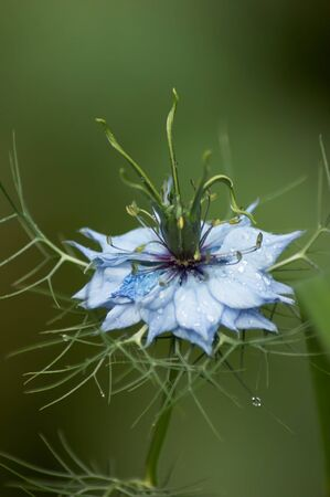 Blue Nigella Flower and Raindrops