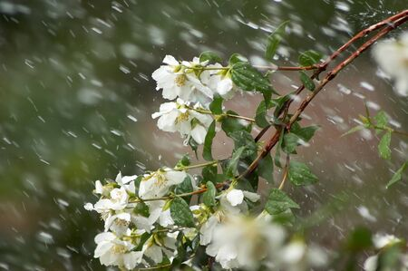 Mock Orange genus Philadelphus flowers and branch during a rain storm