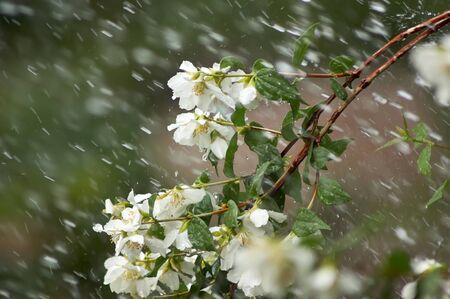 philadelphus: Mock Orange genus Philadelphus flowers and branch during a rain storm