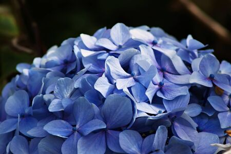 A dome of blue flowers from a Hydrangea shrub