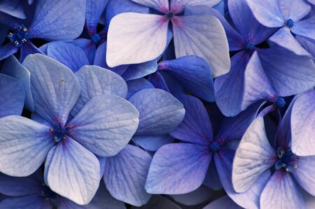 Close up of a group of blue Hydrangea flowers
