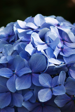 Blue Hydrangea flowers  in portrait orientation
