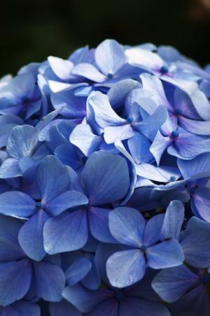 portrait orientation: Blue Hydrangea flowers  in portrait orientation