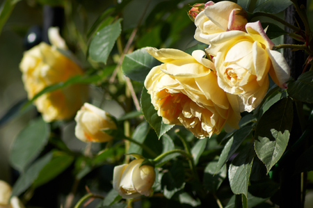 A cluster of yellow rose flowers genus Rosa and buds on a bush