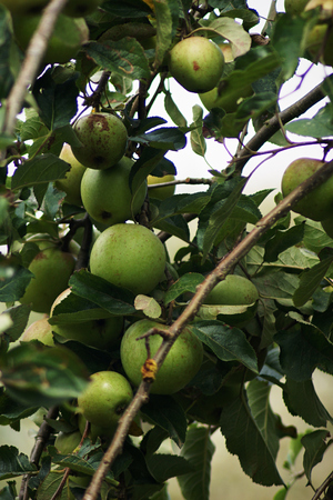 A group of apples growing on a tree Stock Photo