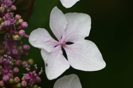 A single light pink Hydrangea flower with raindrops