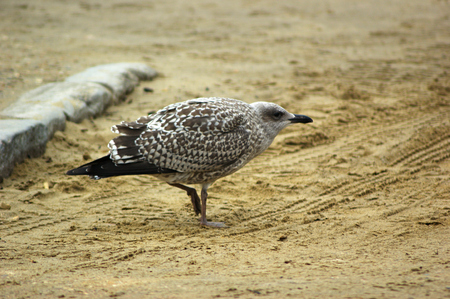 A juvenile European Herring Gull (Larus argentatus) on a beach, side view