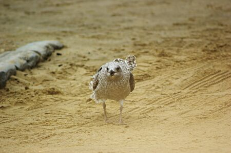 A juvenile European Herring Gull (Larus argentatus) walking on a beach towards the camera