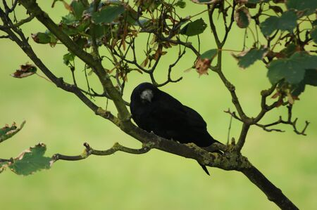A Rook (Corvus frugilegus) in a tree with green background Stock Photo