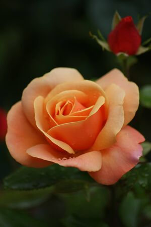 An orange rose (genus Rosa) with a bud in the background Stock Photo