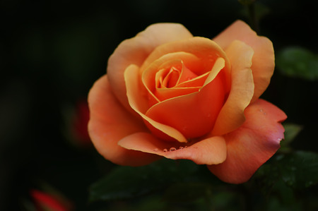 A close up of an orange rose (genus Rosa) with raindrops