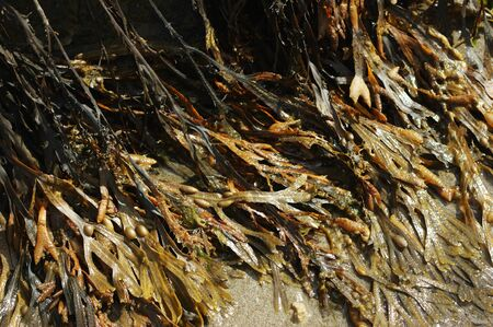 wrack: Spiral Wrack (Fucus spiralis) and Bladder Wrack (Fucus vesiculosus) seaweed covering a rock at the coast