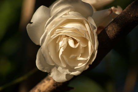 A cream coloured rose (genus Rosa) resting on a branch