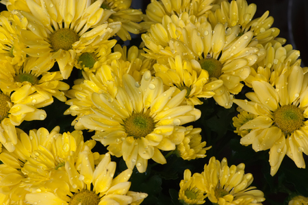 A group of yellow chrysanthemum flowers after a rain shower
