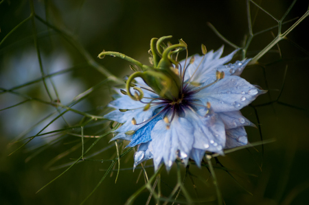 Blue Nigella flower with the focus on the seedpod in the centre of the flower