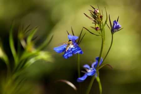 syrphidae: A hoverfly (Syrphidae) on a blue Lobelia flower