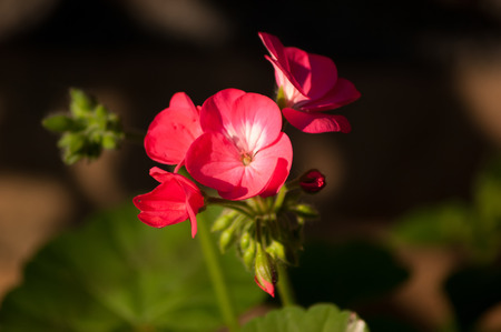A small group of red Geranium flowers with some buds not yet opened