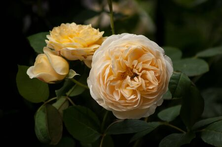 Three yellow roses (genus: Rosa) and foliage