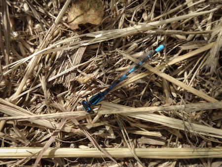A blue damselfly (Zygoptera) with damaged wing at rest on some dried grass Stock Photo