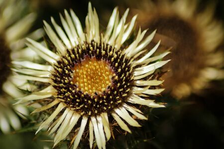 A Common Carline Thistle flower (Carlina vulgaris)