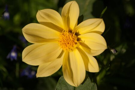 A yellow Dahlia flower with blue Lobelia in the background