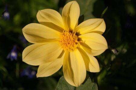lobelia: A yellow Dahlia flower with blue Lobelia in the background